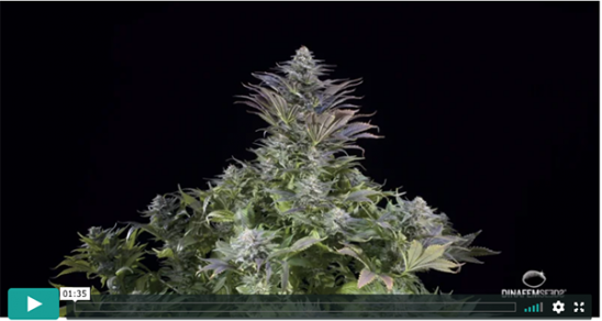 Blue Widow Video