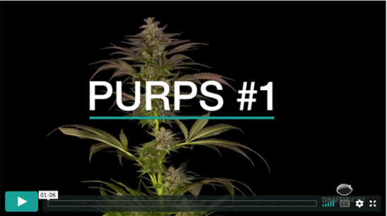 Video Purps #1