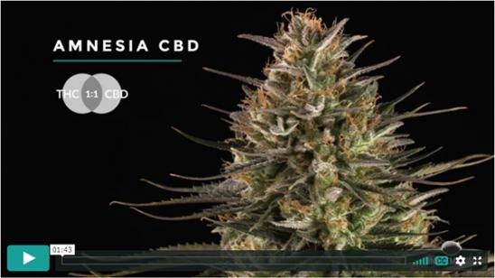 Video Amnesia CBD