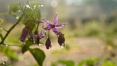 IMG Plant of the month: Belladonna, the witches herb