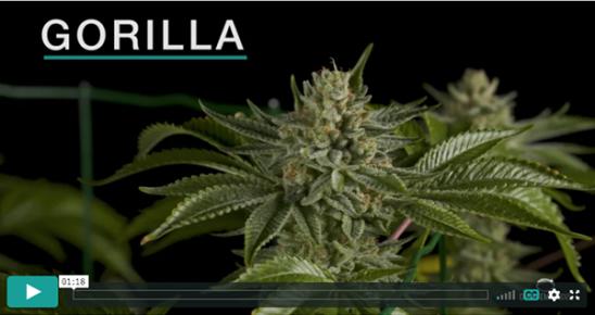 Video Gorilla