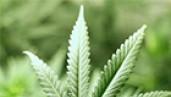 IMG Cannabis viruses: a mysterious, devastating threat