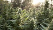 IMG 5 confusing facts about cannabis that need more study